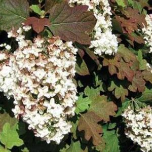 Hydrangea quercifolia Black Porch5