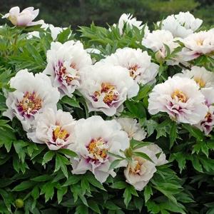 Paeonia кора лоис